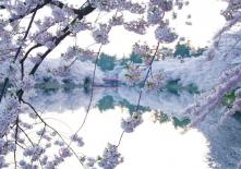 cherry-blossom-festival-Japan-02