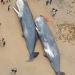 海岸に大量のクジラの死骸。その胃の中から出てきたものに全世界が衝撃を受ける…