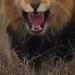 命をかけた奇跡の1枚!ライオンとの距離わずか3mというその迫力に息を飲む